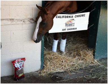 California Chrome and his favorite horse treats!